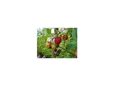 Photo Small Raspberries Food