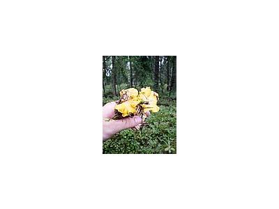 Photo Small Yellow Chantarelles Food