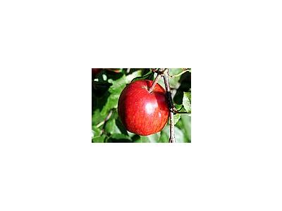 Photo Small Apple 16 Food