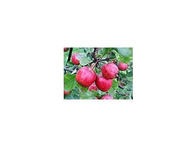 Photo Small Apple 7 Food