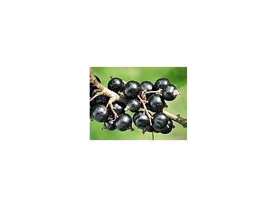 Photo Small Black Currant 3 Food