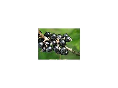 Photo Small Black Currant 4 Food
