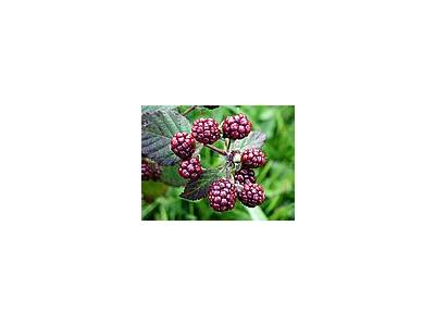 Photo Small Blackberries 4 Food
