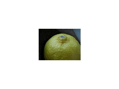 Photo Small Lemon 1 Food
