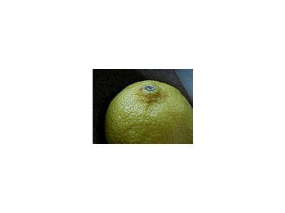 Photo Small Lemon 1 Food