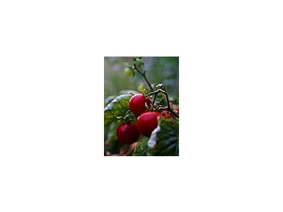 Photo Small Cherry Tomatoes Food