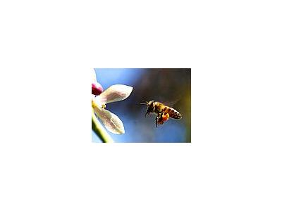 Photo Small Bee Pollen Insect