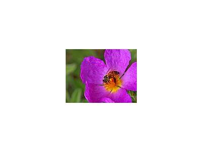 Photo Small Bee And Pollen Insect