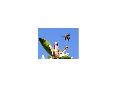 Photo Small Bee Pollen 2 Insect