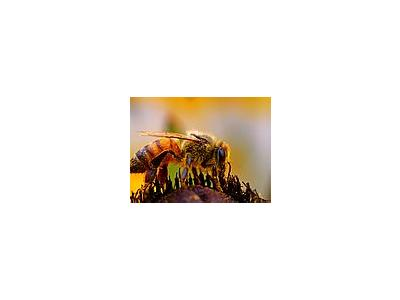 Photo Small Bee Pollen 3 Insect