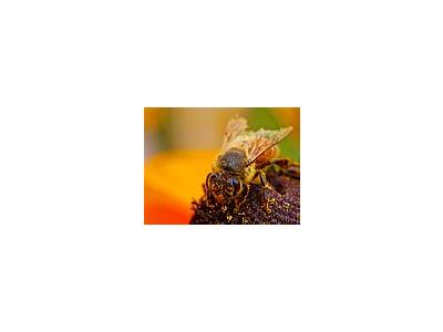 Photo Small Bee Pollen 4 Insect