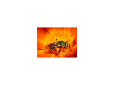 Photo Small Green Hornet Insect