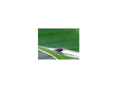 Photo Small Housefly Insect