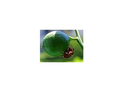Photo Small Lime Spider Insect