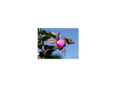 Photo Small Moth And Fuchsia Insect