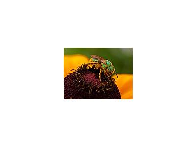 Photo Small Pollen And Sweat Bees Insect