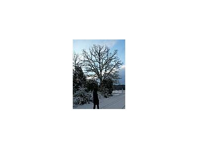 Photo Small Snowy Oak Tree Landscape