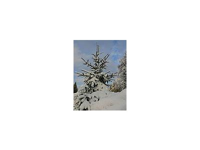 Photo Small Snowy Spruce Tree Landscape