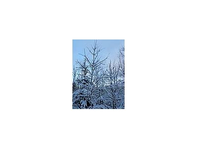 Photo Small Snowy Trees Landscape