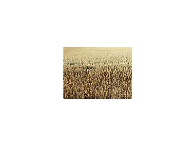 Photo Small Oats Field Landscape
