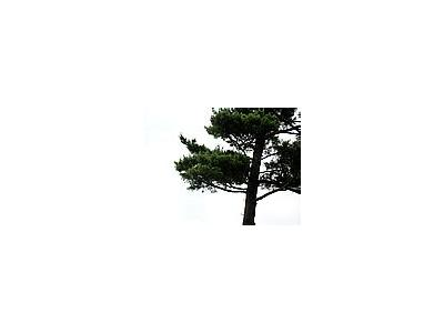 Photo Small Pine 2 Landscape