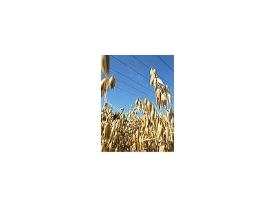 Photo Small Oats Landscape