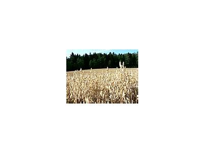 Photo Small Oats Field 2 Landscape
