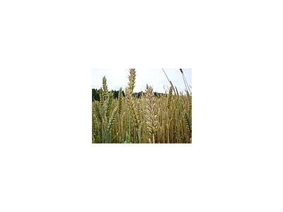 Photo Small Wheat Landscape