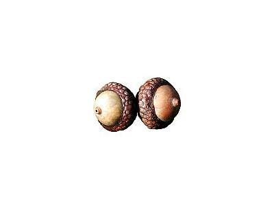 Photo Small Acorn Object