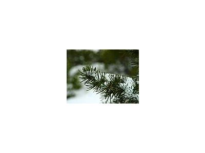 Photo Small Winter Pines Plant