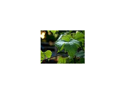 Photo Small Grape Leaf Plant