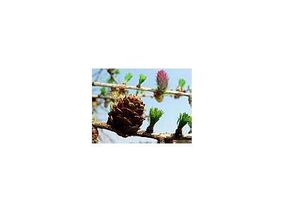 Photo Small Flowering Larch 2 Plant