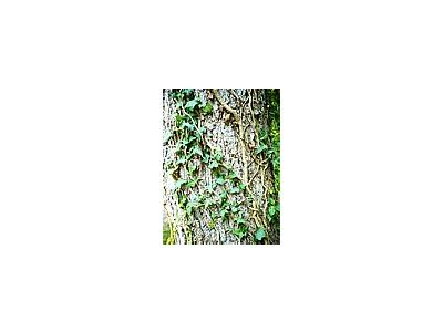 Photo Small Ivy Climbing Tree Plant