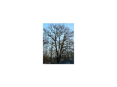 Photo Small Oak Tree In Winter Plant