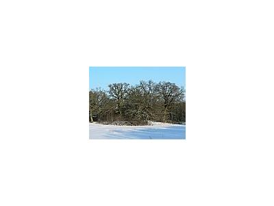 Photo Small Oak Trees A Clear Winter Day Plant