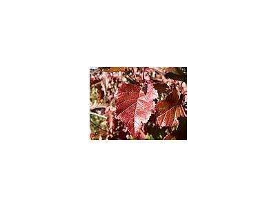 Photo Small Red Autumn Leaves Plant