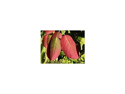 Photo Small Red Autumn Leaves 2 Plant