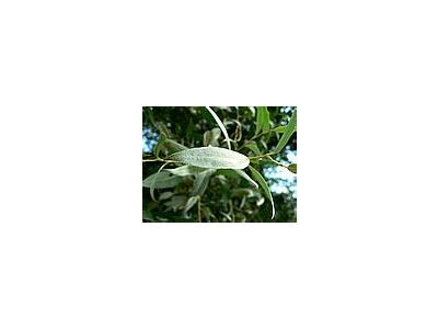 Photo Small Silver Furred Leaves Plant