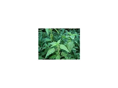 Photo Small Stinging Nettles Plant