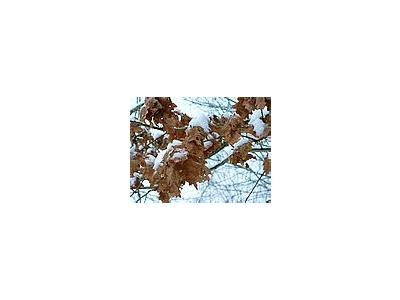 Photo Small Winter Oak Leaves Plant