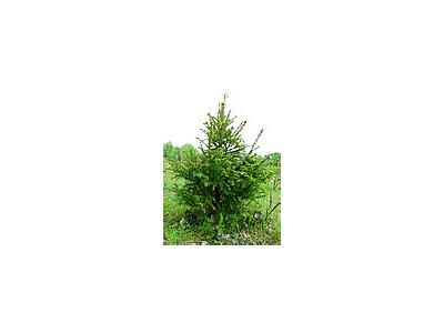 Photo Small Young Spruce Plant