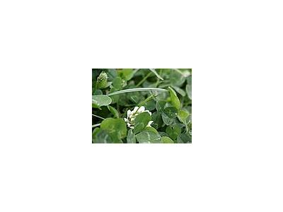 Photo Small Trefoil Plant