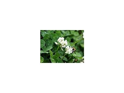 Photo Small Trefoil 2 Plant
