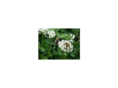 Photo Small Trefoil 3 Plant