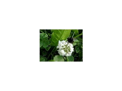 Photo Small Trefoil 4 Plant
