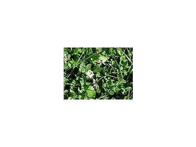 Photo Small Trefoil 5 Plant