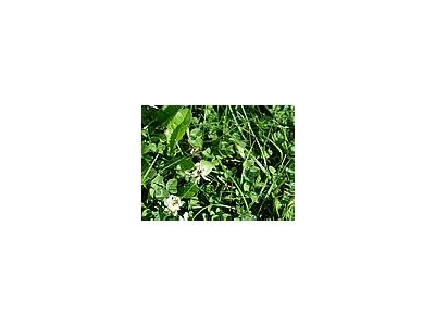 Photo Small Trefoil 6 Plant