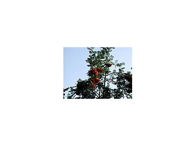 Photo Small Rowanberry Plant