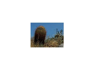 Photo Small Barrel Cactus Plant