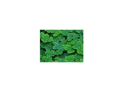 Photo Small Clover Plant